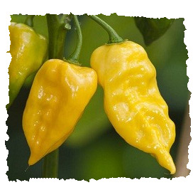 Habanero Yellow (10 nasion)