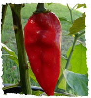 Devils Tongue Red (10 nasion)