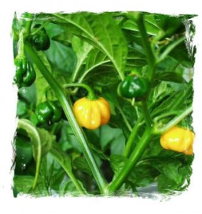 Scotch Bonnet Orange (10 nasion)